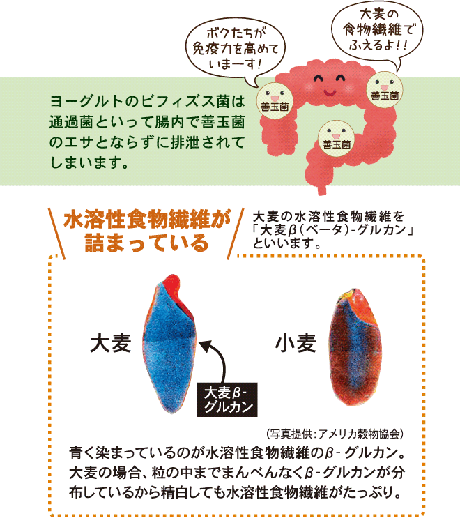 大麦の水溶性食物繊維が腸内の善玉菌を活性化する